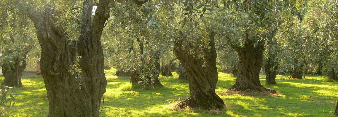 fall-olive-trees